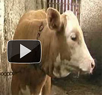 Kuh in Anbindehaltung