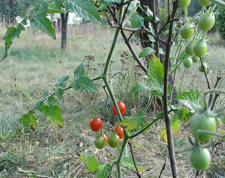 Wildtomate rote Murmel